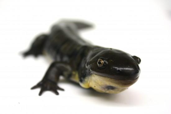 An adult tiger salamander.