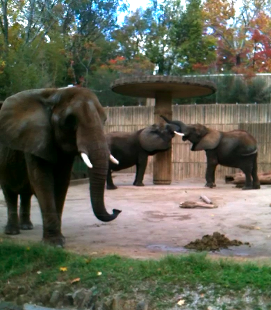 Memphis Zoo and Rhodes College partnered to study benefits of new flooring to the elephants Asali, Gina, and Tyranza.