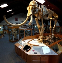 """Dee,"" the Columbian Mammoth, towers over the Ice Age exhibit at the Tate Geological Museum at Casper College in Casper, Wyoming."