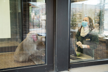 Researcher interacts with macaque behind glass panel