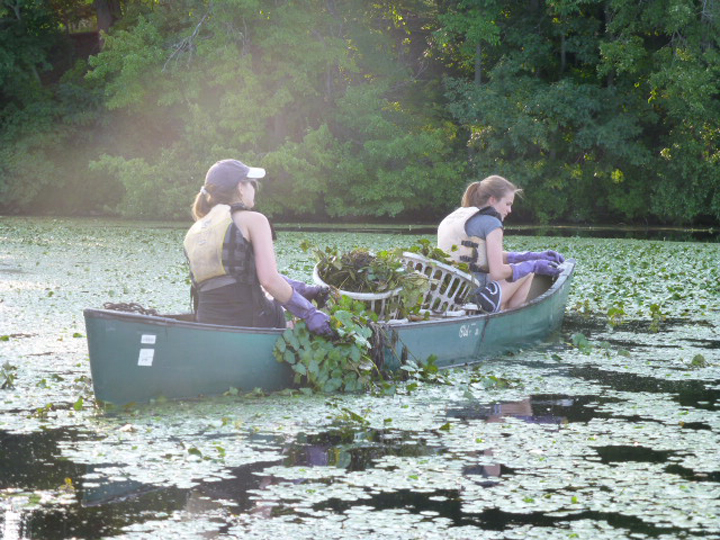 Two live blue ™ Service Corps members remove invasive water chestnut plants from the Mystic River.
