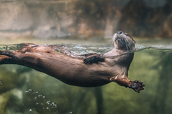 River Otters Nathan Bell South Carolina Aquarium